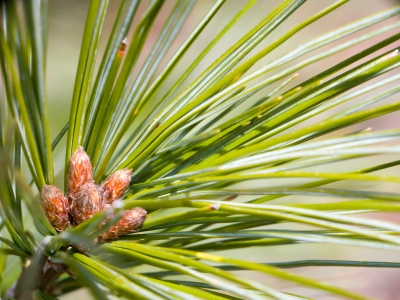 Pine Needle Ponderosa Essential Oil, Wild Crafted
